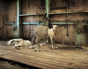 owce_lanolina(1)