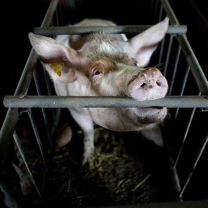Ważny dokument: epidemie od 1900 to wynik wykorzystywania zwierząt