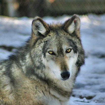 TSUE: nie będzie można strzelać do wilków