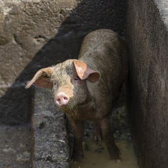 Tragedia na Dolnym Śląsku. Świnie prawdopodobnie czeka śmierć
