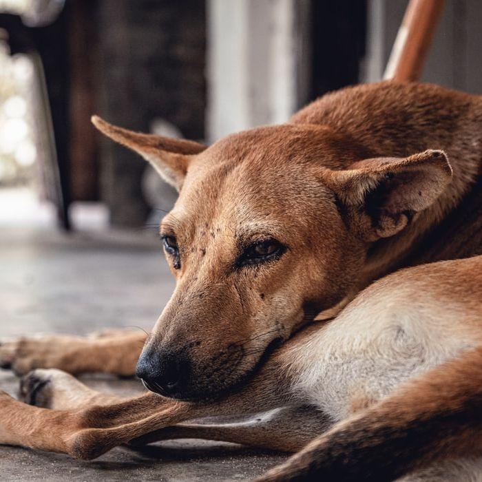Trwa kolejny festiwal psiego mięsa w Chinach. Zginie ok. 5 tys. psów