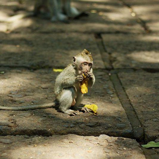 """""""Wykup biedną małpkę"""". Tak handlarze na Bali wyłudzają pieniądze kosztem zwierząt"""