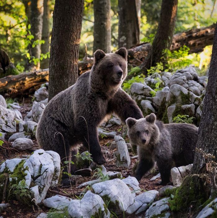 Chiny zalecają na koronawirusa… niedźwiedzią żółć