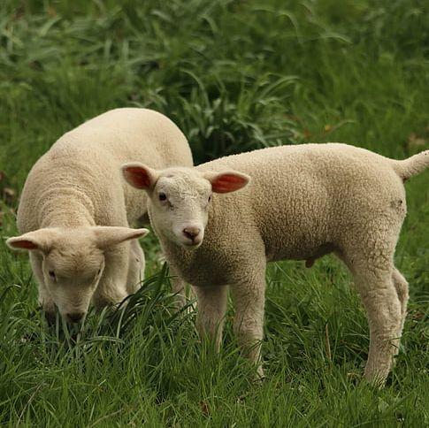 Jagnięta z Podhala w tym roku nie pojadą na rzeź do Włoch