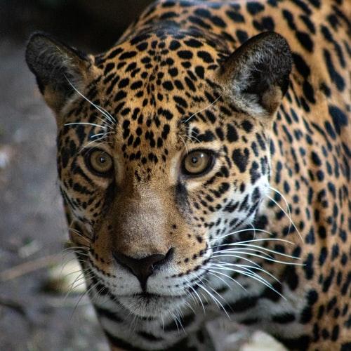 Argentyna: wzrost populacji zagrożonych jaguarów