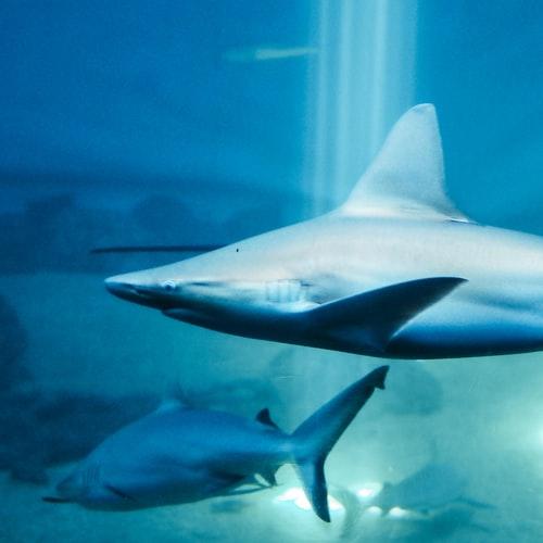 UK zakaże handlu płetwami rekinów